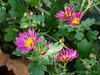 Mums, Hesperides terraces