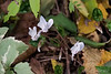 White Cyclamen hederifolium, N path