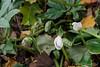 11/04/20.  The first Helleborus niger blooms.  N walk by N door