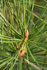 Next year's bud on (bungei?) pine by ponds