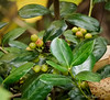 """""""Golden"""" holly-- and it would be in full sun-- by ponds."""