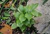 Wide leafed Polygonatum at NE corner of guest room