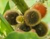 Solanum fruits...