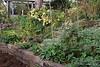 Hesperides terraces.  Mums, rhodos, artemisia, hellebores, Honorine Jobert anemone, spent lilies.  Dan's studio in back.