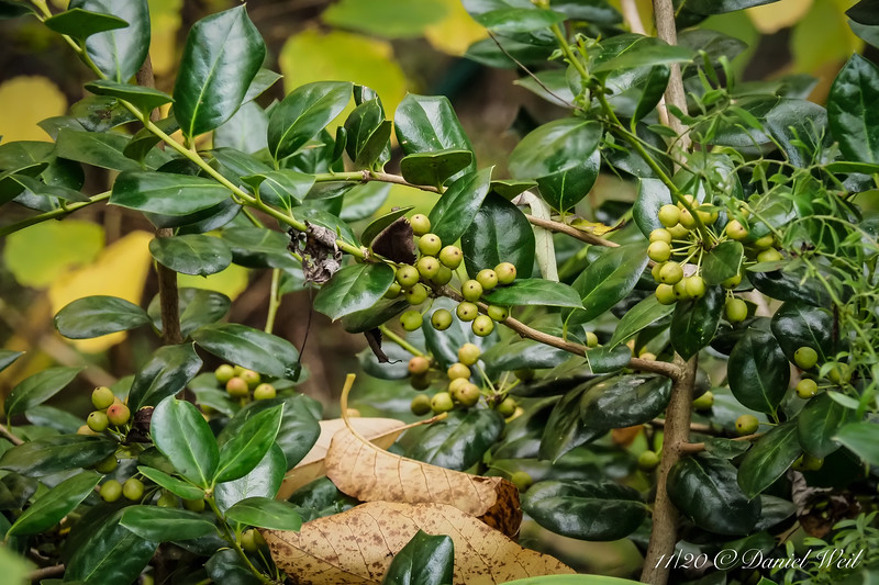 """""""Golden"""" holly.  Now you know what it does in almost full shade.  Memo to file, prune other things to give it a bit of sun."""