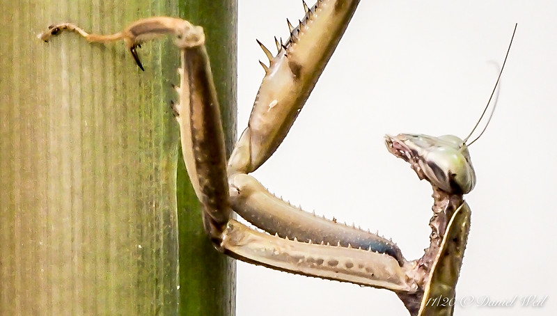 The leg spikes are for holding the prey still while it is being eaten.