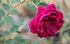 Rose 'Darcy Bussell'....