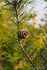 Cone of prob-bungei pine by ponds
