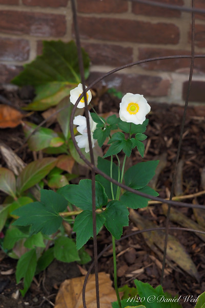 The new anemone 'Honorine Jobert' blooming, E of dining room.  I put a tomato cage on as I planted it, not so much for this year as for next.  I'm lazy...