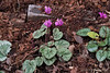 Cyclamen purpurascens.