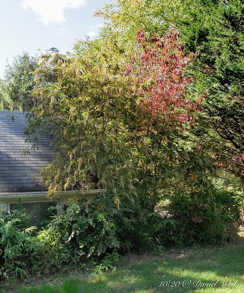 NE corner of Dan's studio; Clethra barbinervis and seedling dogwood