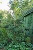 Holly & hellebores, NE corner greenhouse