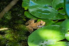 Venus on the lily pad, rising from the ... pond?