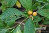 Golden winterberry, still in pot....