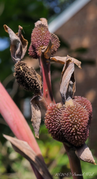 Canna seed pods forming