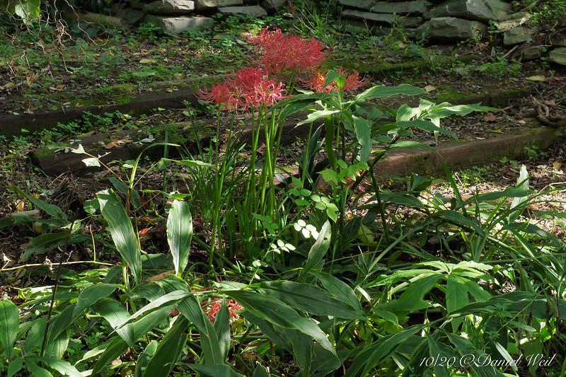 Lycoris radiata ssp. radiata, hellebore stairs