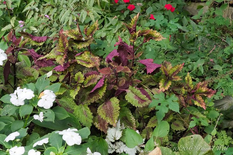 Coleus, begonias, impatiens, weeds, N of guest room