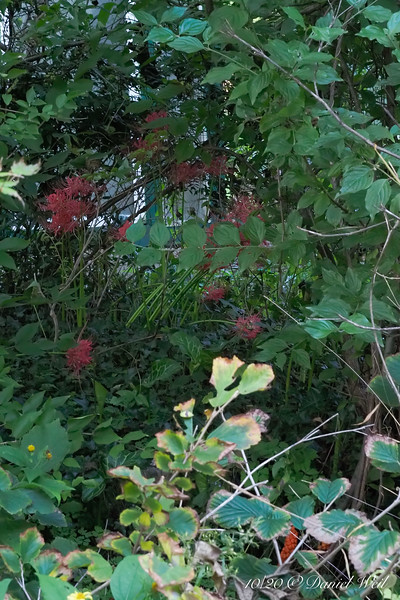 Overgrown clump of Lycoris radiata by ch.house
