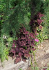Coleus, highway bed
