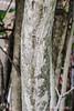 Arf!  (Staphylea bark)