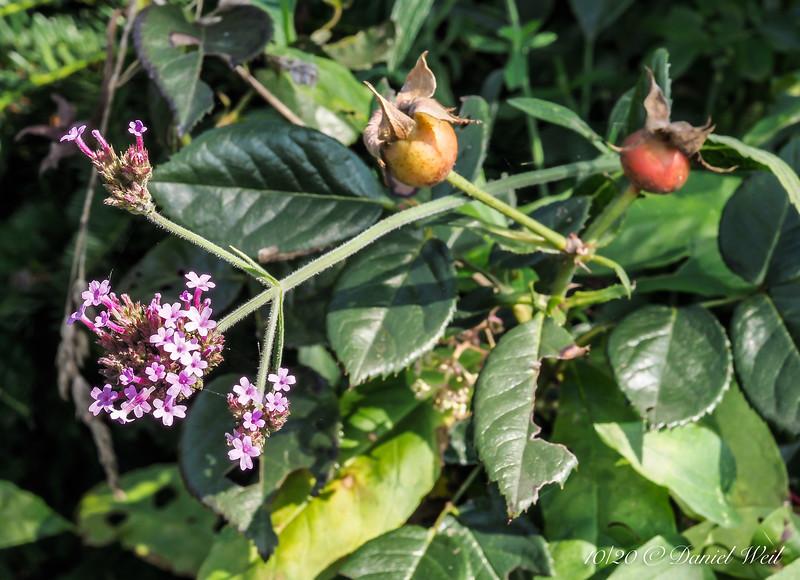 Hips and Verbena bonarensis
