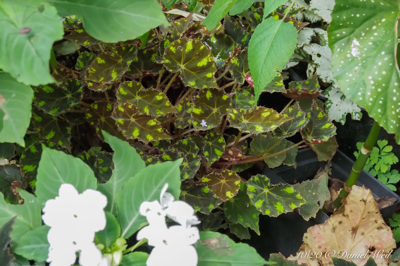 Begonia, in pot, in shade