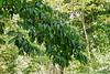 Heptacodium, Hesperides berm