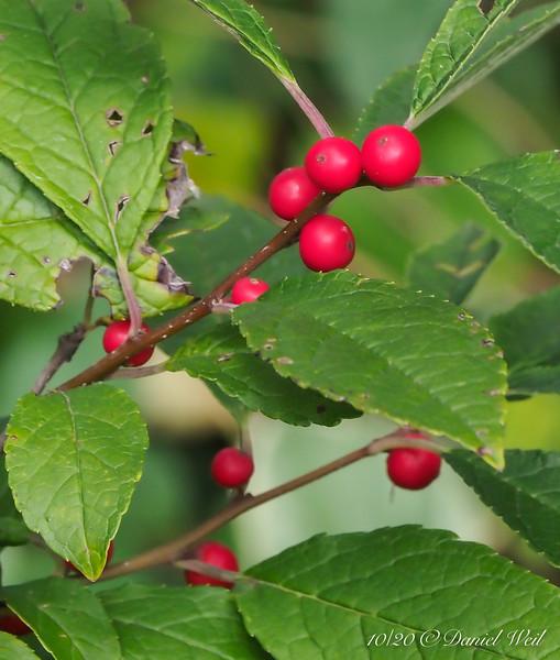 Winterberry, highway bed