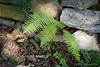 And the fern came back, it wouldn't stay away....