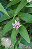 Tricyrtis N of library