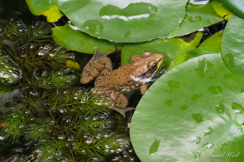 Same frog.  It was cool-cool today so Dan could shoot and it was too torpid to care.