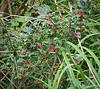 Winterberry, Hesperides terraces
