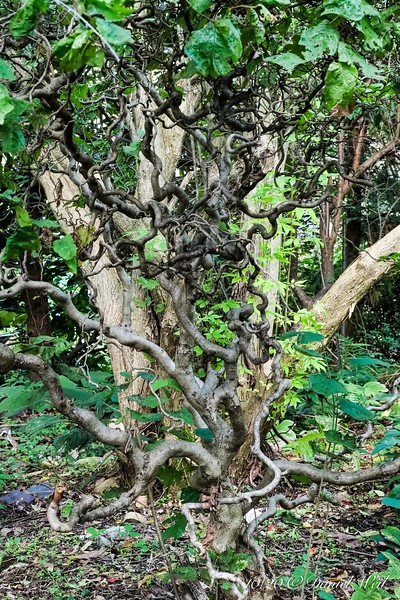 The Strangler Tree.... AKA Harry Lauder's Walking Stick.  Ex LynnT.   The larger tree behind it is Vitex agnus-castis, that I planted expecting a five foot shrub.  Hah.