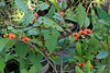 Winterberry still in pot