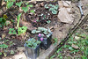 Cyclamen to be planted.  They ato be backed by Lycoris sprengeri (take me on faith, they are in the brown paper bag.)