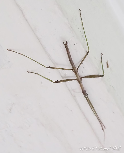 Walking stick, again.  It seems to like our woodwork.