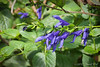 Salvia guaranitica.  I am not at all sure it's that blue... should have a bit of lavender in it.