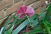 Begonia grandis.  Dan liked the color of the leaf underside.