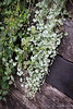 Dichondra, library stairs