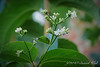 Heptacodium miconioides S of library.