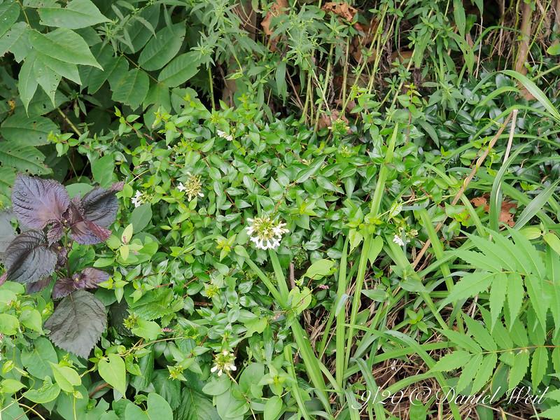 Abelia among massive weeds.