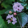 Crepe myrtle end of spur by cistern