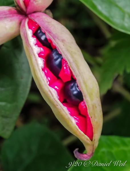 Japanese woods peony seed pods.    Ex Aaron F.