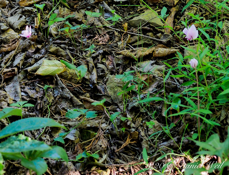 Fall cyclamen from Gettysburg Gardens last year, starting to bloom