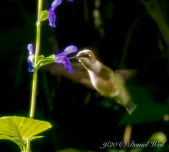 And from the necrophagic to the sublime..... Hummingbird on Salvia guaranitica.