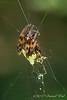 White backed spider...