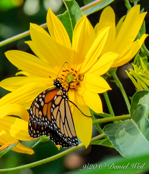 Monarch on perennial sunflower.