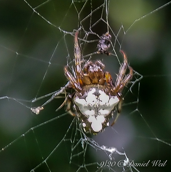 """Odd, white backed spider in its web.  """"Glitter"""" happens in superblowups."""