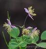 Purple Thalictrum, Hesperides terraces
