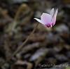 Cyclamen hederifolium from Gettysburg Gardens